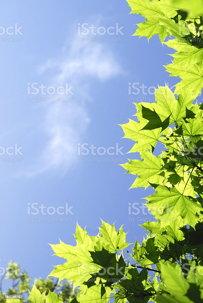 Green Leaves against the Sky stock photo