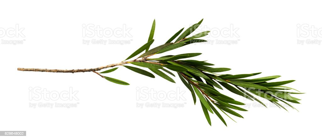 Green leaves and branch of bottle brush tree isolated on white background, with clipping path stock photo
