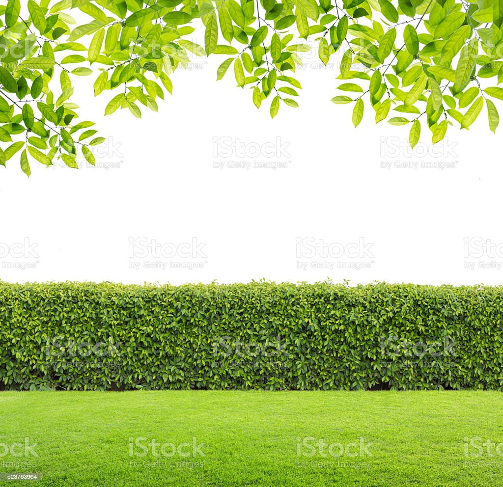 Green leaves and Green hedge isolated. stock photo