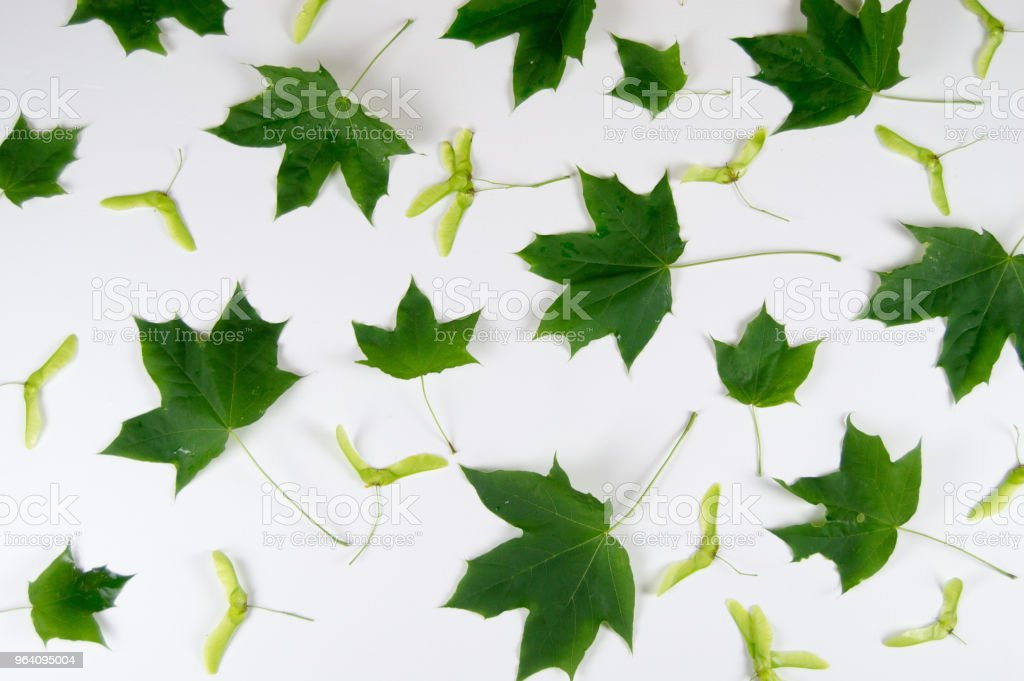 green leaves and maple seeds on light background - Royalty-free Bright Stock Photo