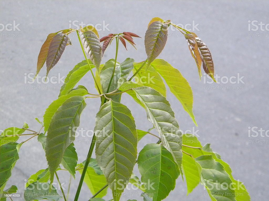 Green leaves and new royalty-free stock photo