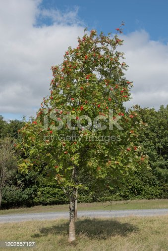 istock Green Leaves and Red Berries of a Mountain Ash or Rowan Tree (Sorbus aucuparia) with a Cloudy Blue Sky Background in a Park 1202557127