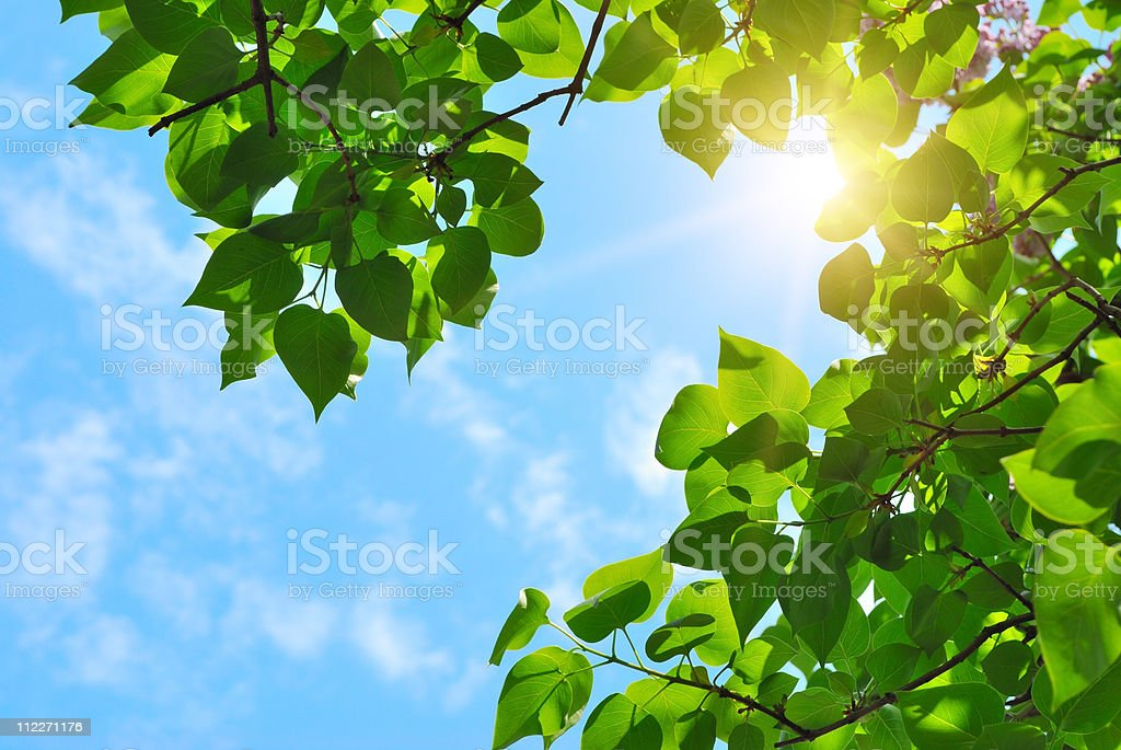 green leaves and sun stock photo