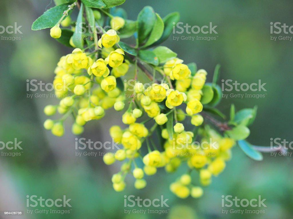 Groene bladeren en gele bloemen van de Mahonia Aquifolium, close-up. Tak van bedektzadigen, familie Berberisfamilie. Gele voorjaar florale achtergrond - Royalty-free Achtergrond - Thema Stockfoto