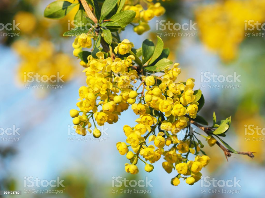 Green leaves and yellow flowers of Mahonia Aquifolium, close-up. Flowering plant, family Berberidaceae. Yellow spring floral background. Blue sky, sunlight - Royalty-free Backgrounds Stock Photo