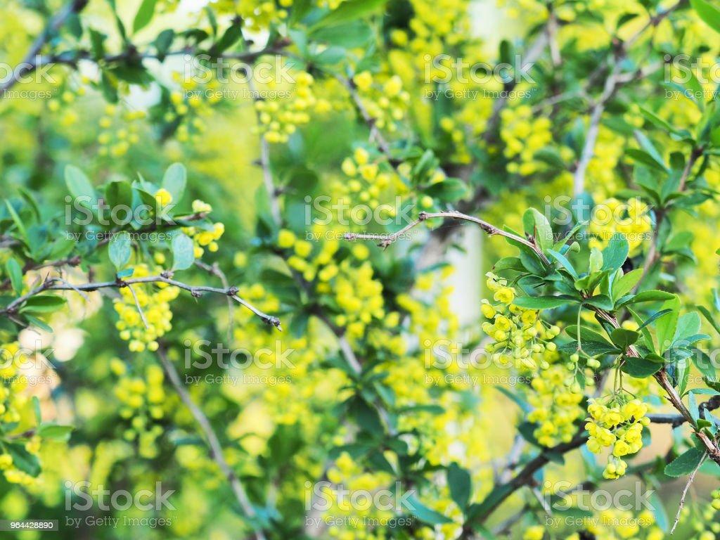 Groene bladeren en gele bloemen van de Mahonia Aquifolium, close-up. Bloeiende plant, familie Berberisfamilie. Gele voorjaar florale achtergrond - Royalty-free Achtergrond - Thema Stockfoto