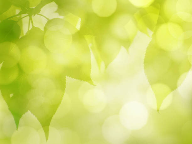 Green leaves background in spring and summer Green Leaves on Blurred Bokeh Background for Spring and Summer Season. Abstract defocused Eco Nature green leaf stock pictures, royalty-free photos & images