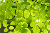 Green leaf background. New life, spring, American Yellow Tree