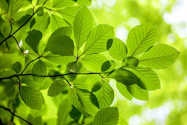 Grüne Blätter, Hintergrund – Foto