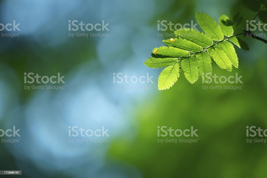 Green leaves - background royalty-free stock photo