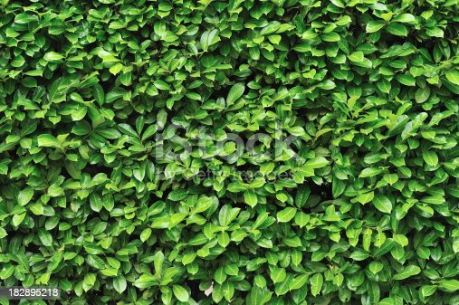 Detail of clipped bush as natural texture