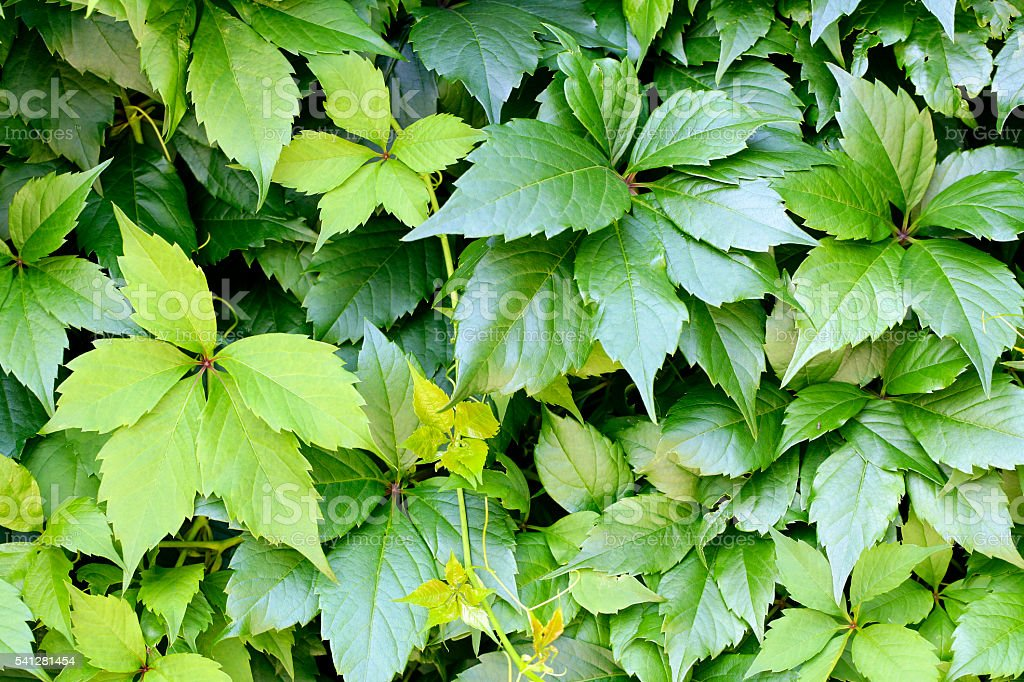 Green leaves background (Virgina Creeper plant) stock photo
