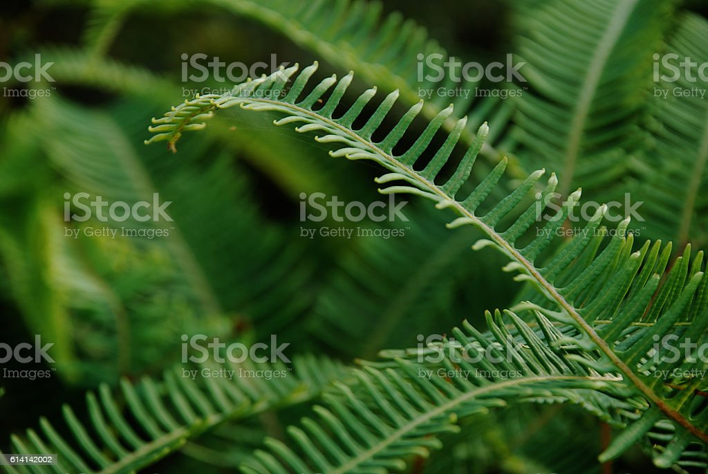 Green leaves background (Pteridophytes leaf) stock photo
