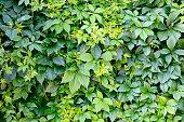 Green leaves background (Virgina Creeper plant)