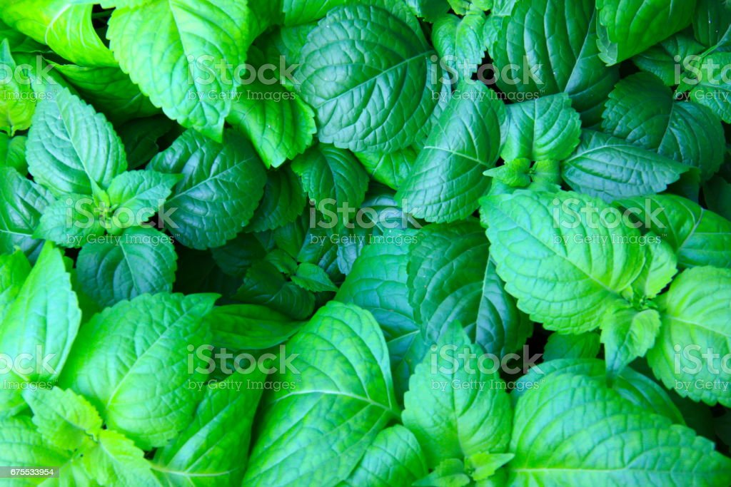 Fond de feuilles vertes. (feuille) photo libre de droits