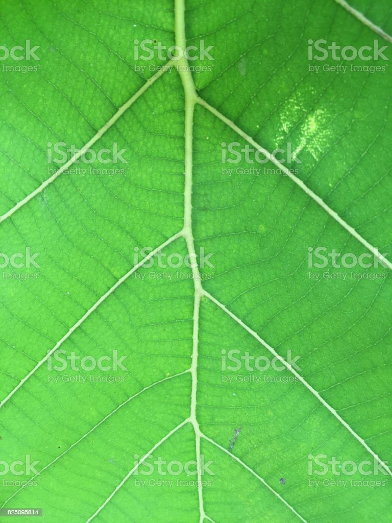 Green Leaves Background (shot by iphone) stock photo