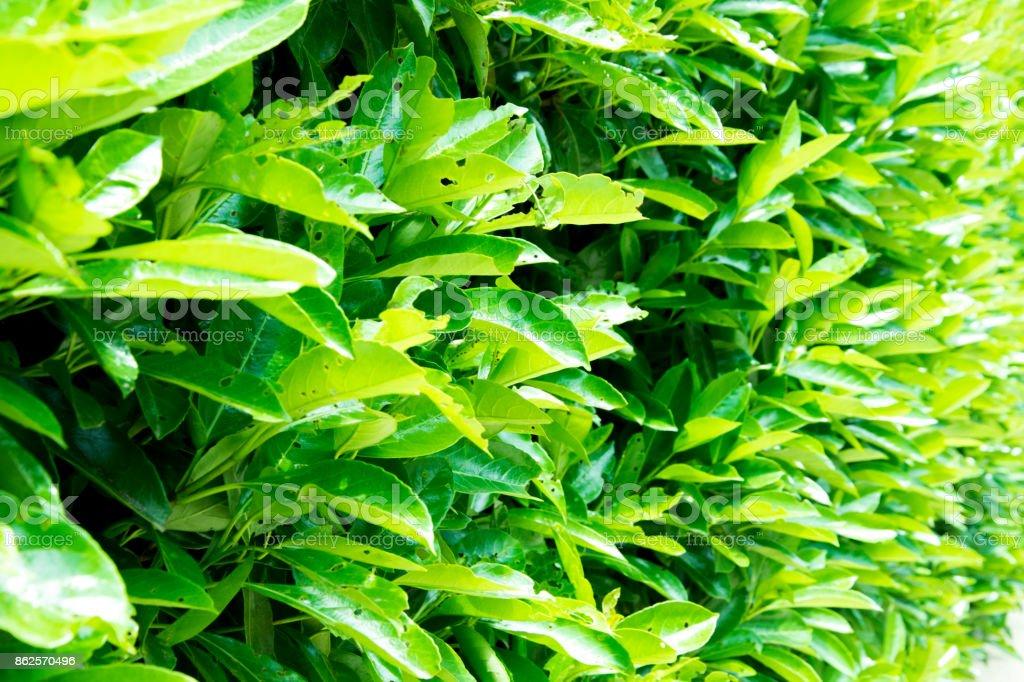 Green leaves background. Verbenaceae. stock photo