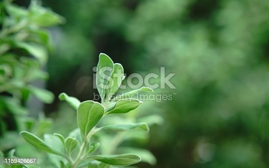 Thailand, Leaf, Sunlight, Growth, Backgrounds
