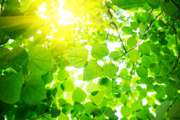 green leaves background with sunlight - green leaves stock photos and pictures