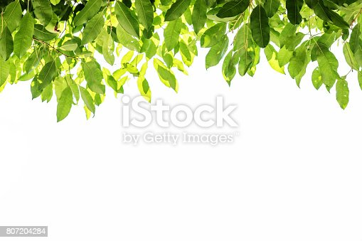 istock Green leaves background with white copy space, on white background 807204284