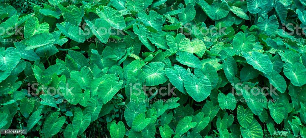 Fond noir des feuilles vertes, mise en page créative faite de feuilles vertes. Poser de plat. Feuillage d'odora Alocasia (lily parfum de nuit ou oreille d'éléphant debout géant) exotique feuille tropique, taro, taro, chembu. - Photo