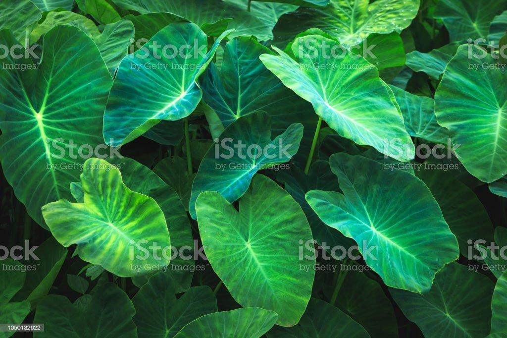 Fond noir des feuilles vertes, mise en page créative faite de feuilles vertes. Poser de plat. Feuillage d'odora Alocasia (lily parfum de nuit ou oreille d'éléphant debout géant), exotique feuille tropique, taro, taro, chembu - Photo