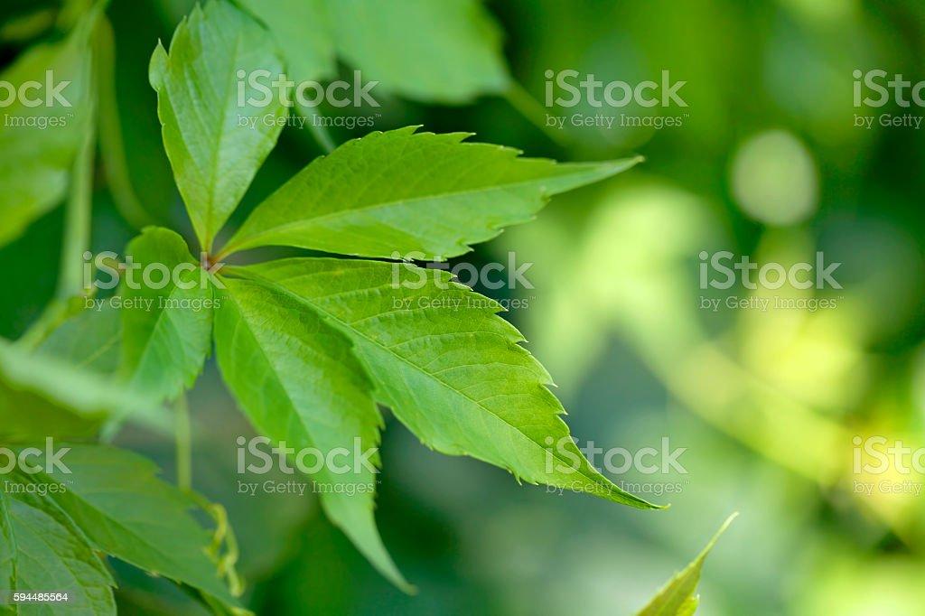 Green leaves close-up (Virgina Creeper plant) stock photo