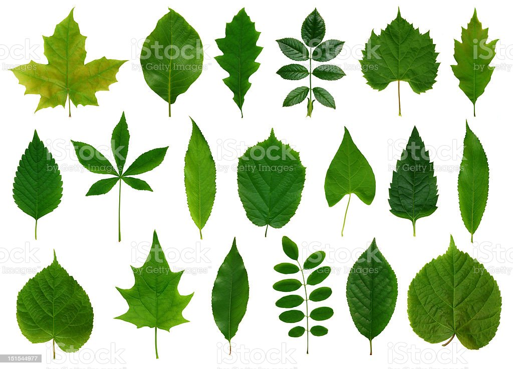 Green leaves collection royalty-free stock photo