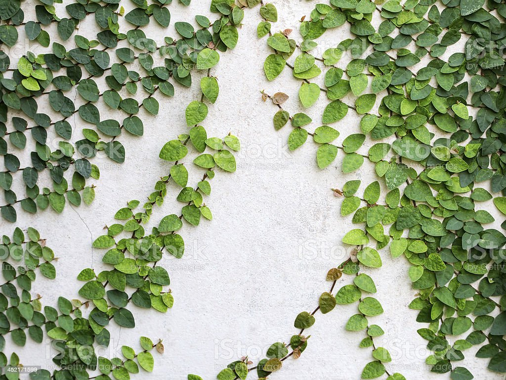 Green leaves creeper plant on the wall for background royalty-free stock photo