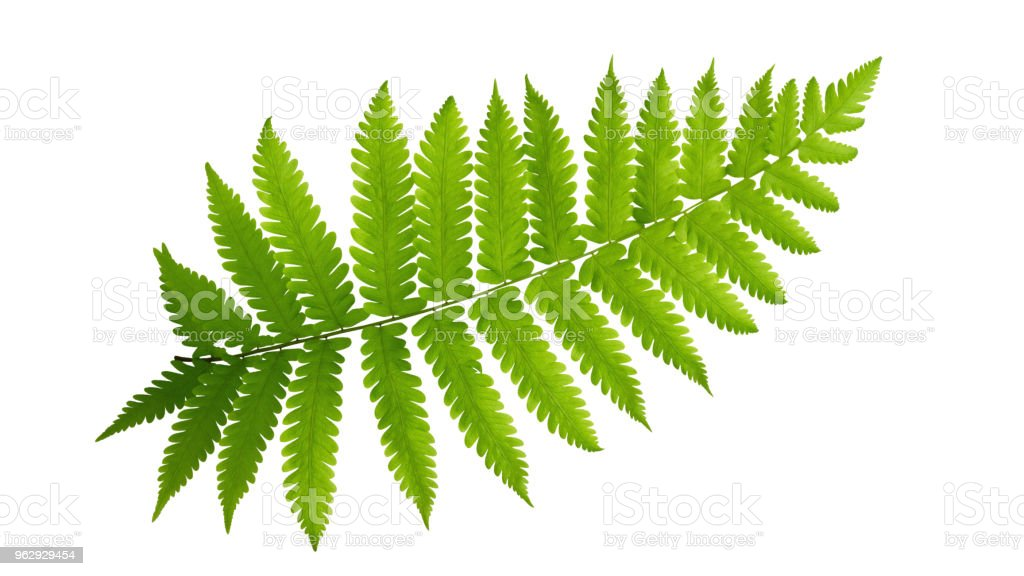 Green leaves fern tropical plant isolated on white background, clipping path included. stock photo