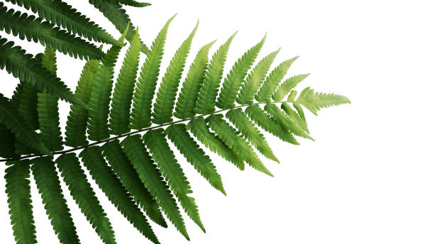 Green leaves fern tropical rainforest foliage plant isolated on white background, clipping path included. Green leaves fern tropical rainforest foliage plant isolated on white background, clipping path included. fern stock pictures, royalty-free photos & images