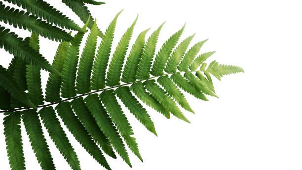 groene bladeren fern tropisch regenwoud gebladerte plant geïsoleerd op een witte achtergrond, uitknippad opgenomen. - varen stockfoto's en -beelden