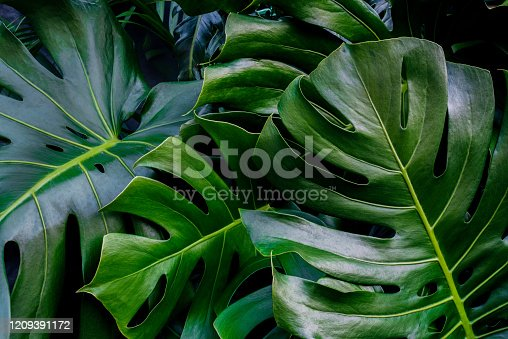 Monstera green leaves or Monstera Deliciosa fren and coconut leaves in dark tones, background or lush tropical pine forest pattern for creative design elements. Philodendron texture.