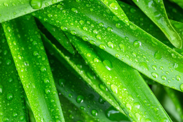 Green leaves from amaryllis belladonna, with rain water drops. Close up, vibrant color stock photo