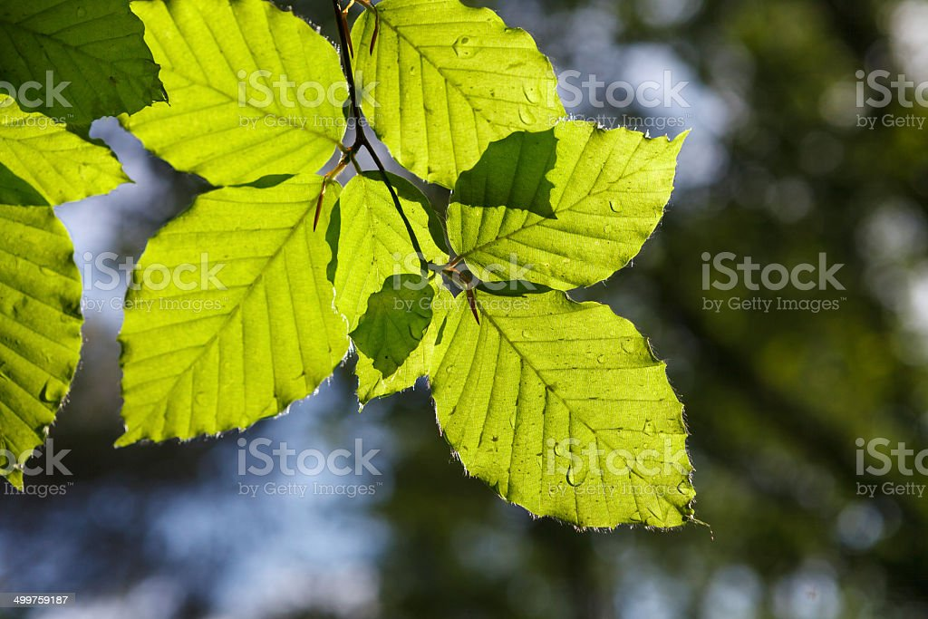 Green leaves highlighted by sun royalty-free stock photo