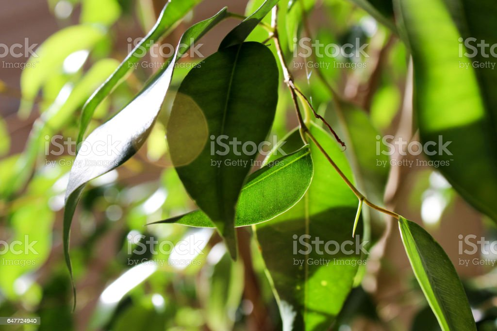 Green Leaves in Bright Sunlight stock photo