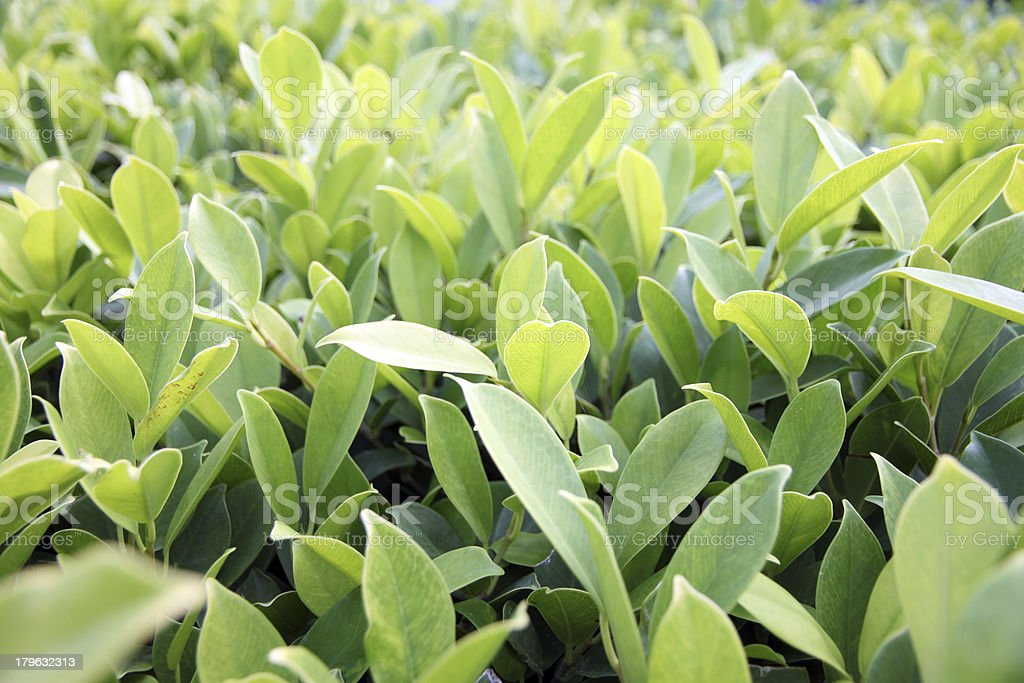 Green leaves in garden. royalty-free stock photo