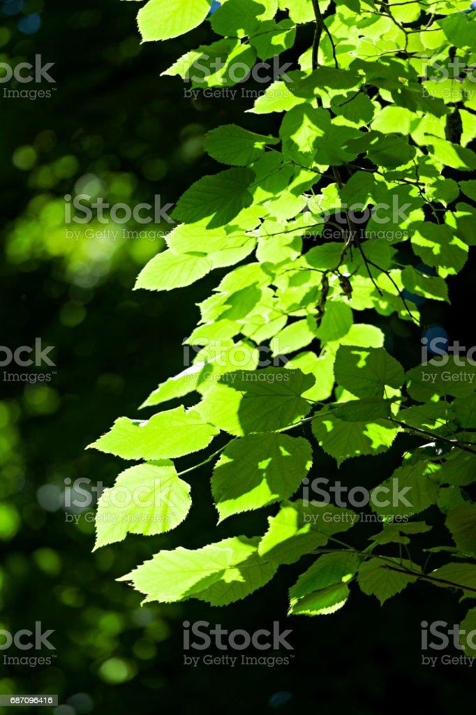 grüne Blätter im Frühling Lizenzfreies stock-foto