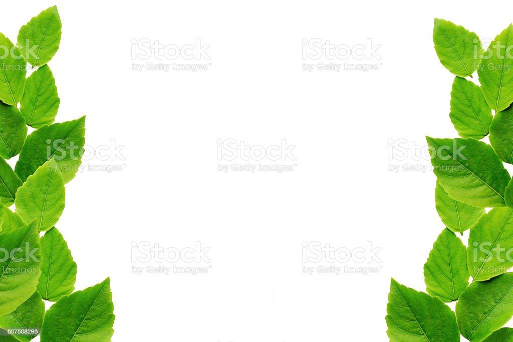 Grüne Blätter, isoliert auf weißem Hintergrund  – Foto