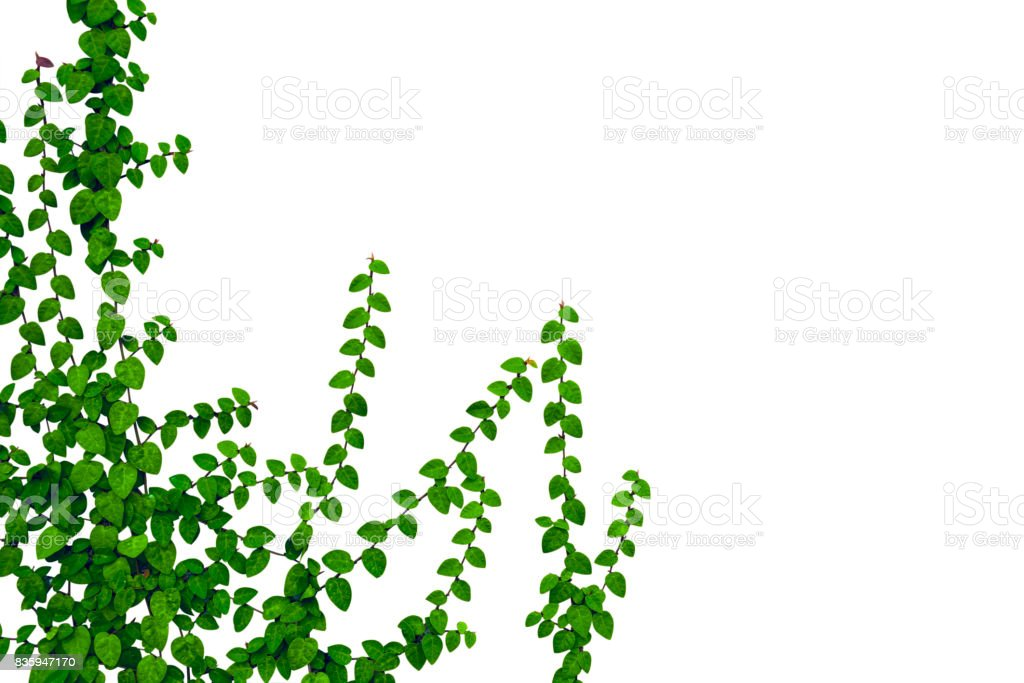 Green leaves isolated on white background. This has clipping path. stock photo
