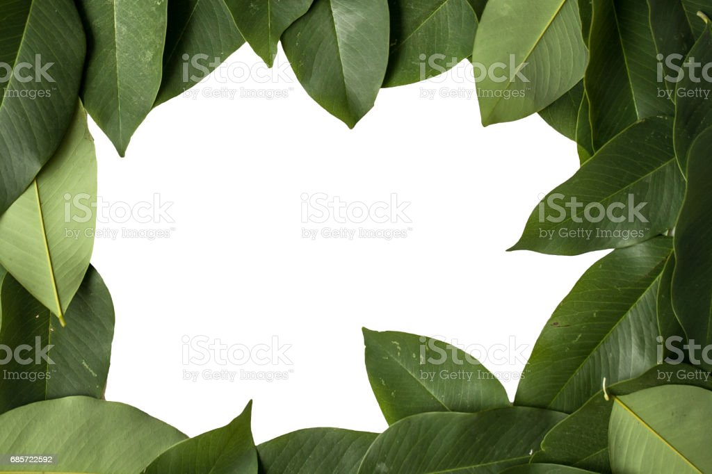 Green leaves isolated on white background with clipping path royalty-free stock photo