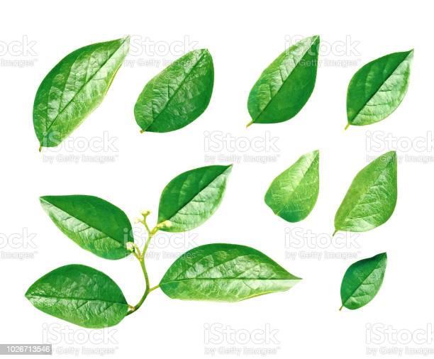 Green leaves isolated picture id1026713546?b=1&k=6&m=1026713546&s=612x612&h=z bgq04wmlkgg4ljd j90q1x2rdmhk4zexs7ldnmt8k=