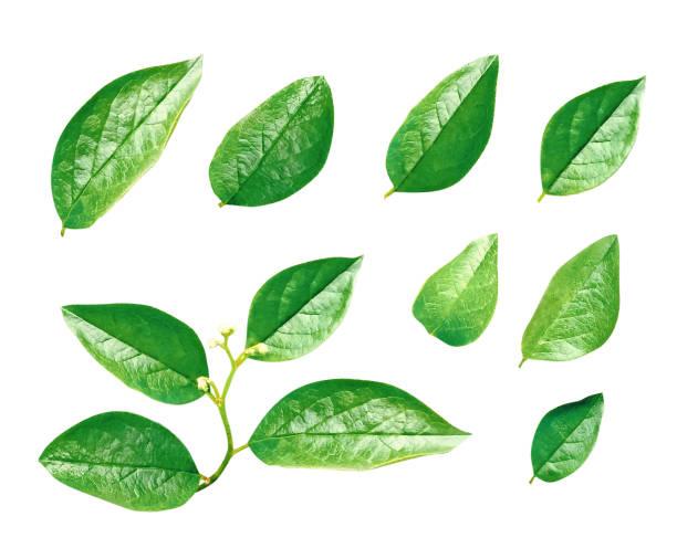 Green leaves isolated picture id1026713546?b=1&k=6&m=1026713546&s=612x612&w=0&h= 9jcb4ig6iiqxax8bjsrarxspzql5osyukl7kcdbihy=