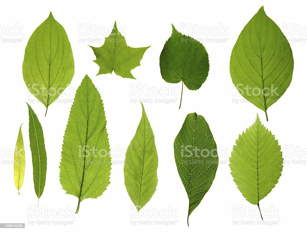 Green leaves isolated royalty-free stock photo