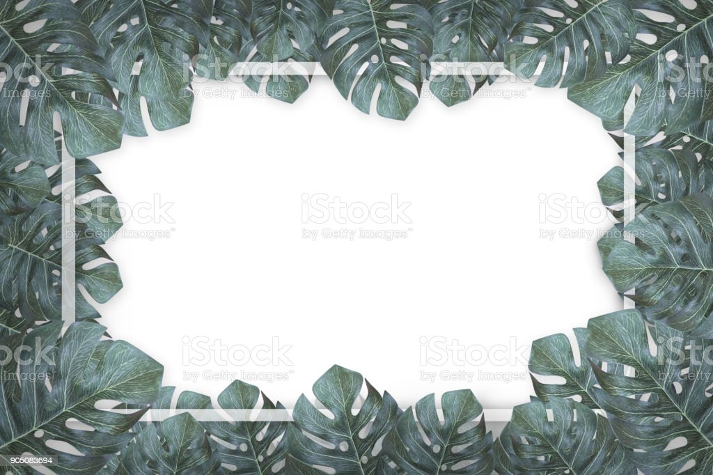green leaves monstera frame isolated on white background stock photo