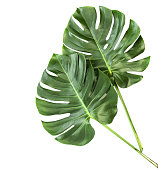 Green leaves monstera isolated white background