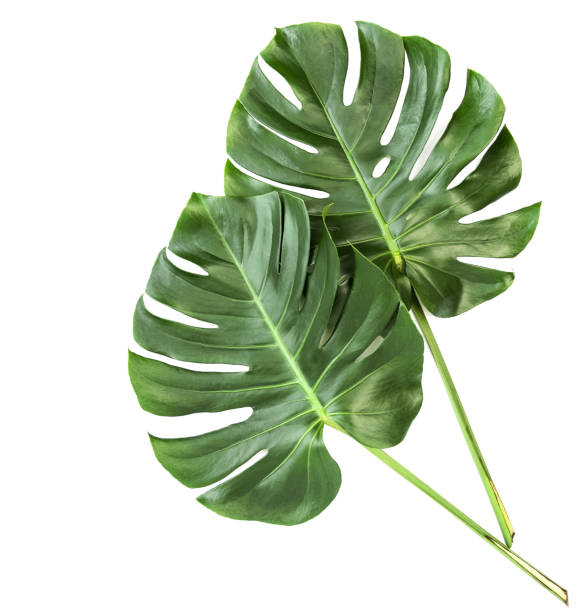 Green leaves monstera isolated white background Green leaves of exotic plant monstera isolated on white background exoticism stock pictures, royalty-free photos & images