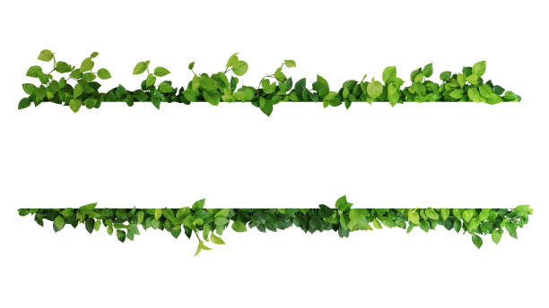 Green leaves nature frame border of devil's ivy or golden pothos the tropical foliage plant on white background. Green leaves nature frame border of devil's ivy or golden pothos the tropical foliage plant on white background. green leaf stock pictures, royalty-free photos & images