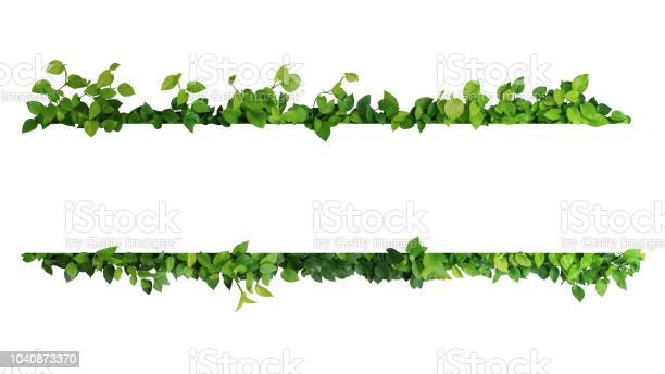 Photo of Green leaves nature frame border of devil's ivy or golden pothos the tropical foliage plant on white background.