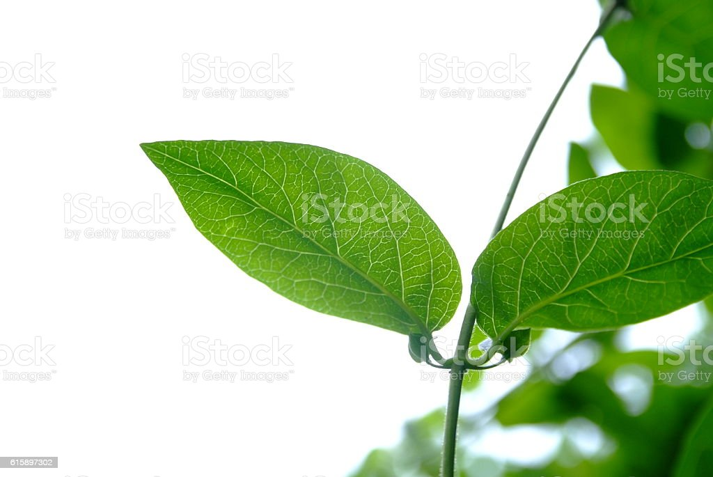 Green Leaves, Nature, Plants 스톡 사진